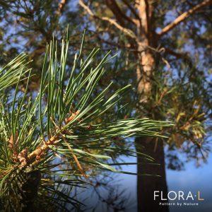 Pine Pinus Tall