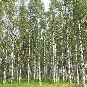 Birch trees in Västerbotten