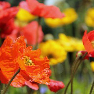 papaver flowers