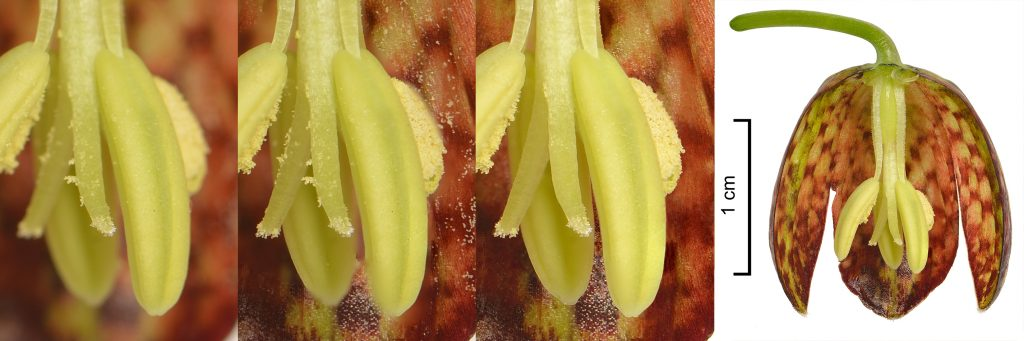Documentation of the photographic process of Fritillaria kurdica