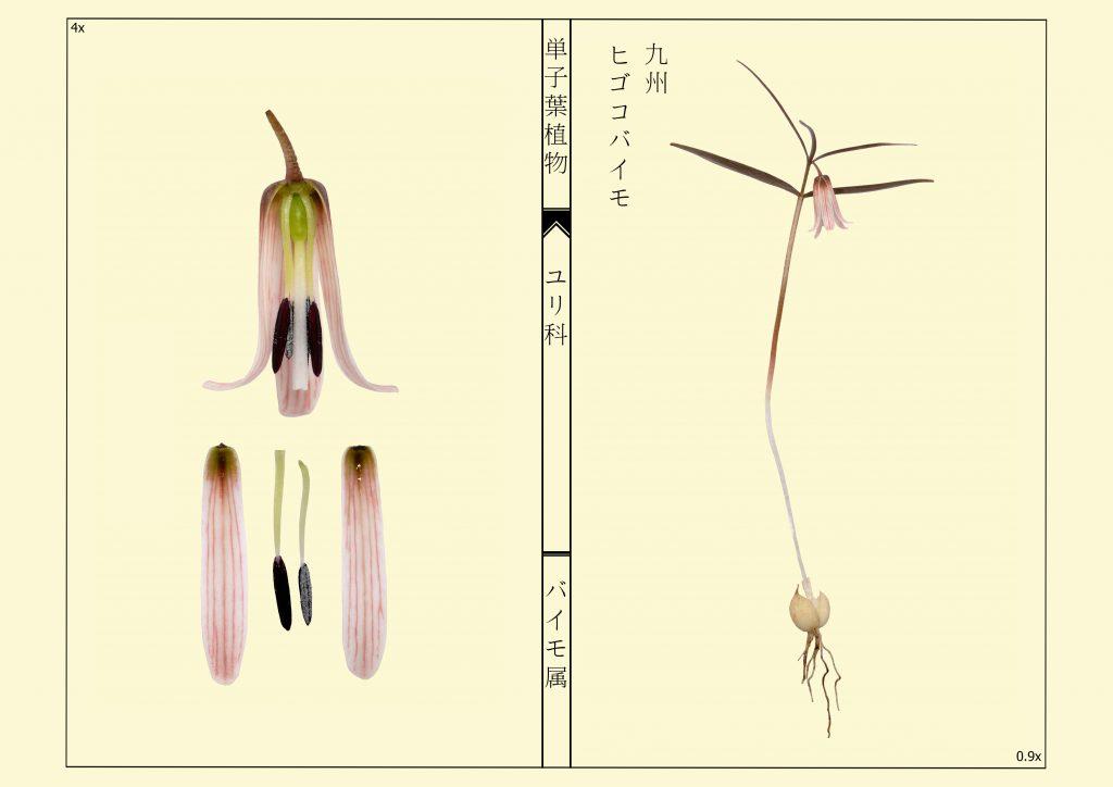 Fritillaria kiusiana - Higokobaimo